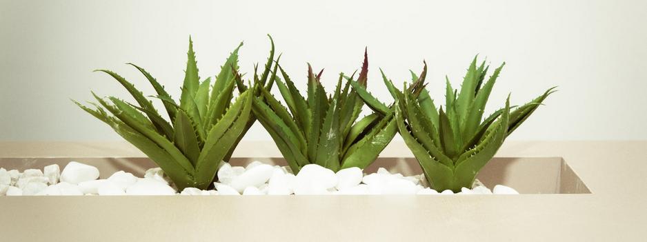 Aloe Vera Pflanzen